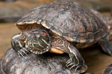 Fototapeta Żółwi skrytoszyjny (Cryptodira) – dziki żółw w naturalnym środowisku. Portret żółwia.  obraz