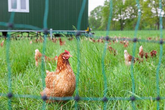 Legehennen in Freilandhaltung mit Hühnermobil