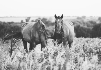 Wall Mural - Two horses in farm grass, farm animals grazing during summer in black and white rural Texas landscape.