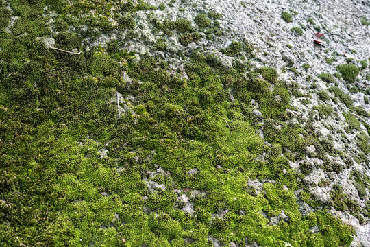 Moss on the rock in nature forest. Moss green texture. Moss background.