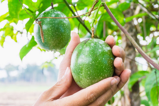 Close-up Of Hand Picking Passion Fruit From Tree At Farm