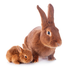 Fototapete - young rabbit and mother