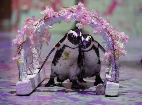 Penguins Momo and Omochi are seen while the projection mapping images is being cast during a media preview for their free online animal shows for children and families staying at home during the coronavirus disease (COVID-19) lockdown