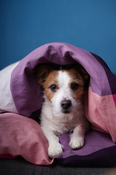 Dog in bed on colored linens. The pet is relaxing, resting.