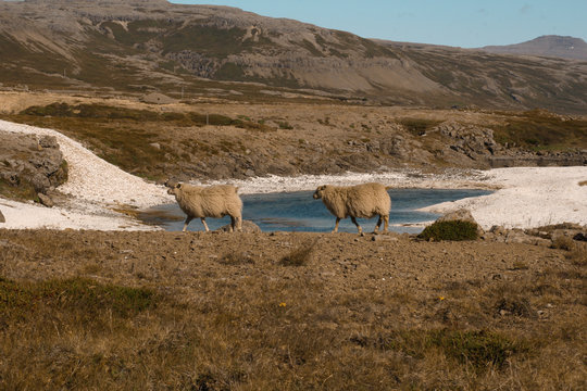 Two sheep walking inline in a fjord in Iceland