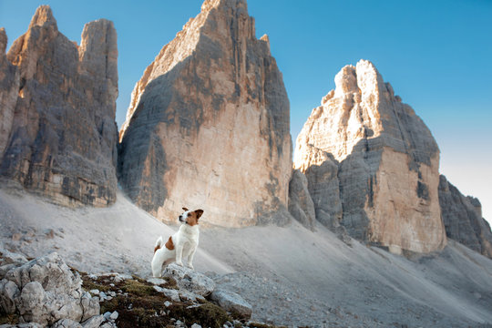 Dog in the mountains. Tracking, hiking with a pet. Brave Jack Russell Terrier on top