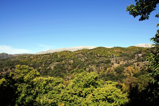 Forest of chestnut trees in the mountains, Igualeja, Andalusia, Spain.