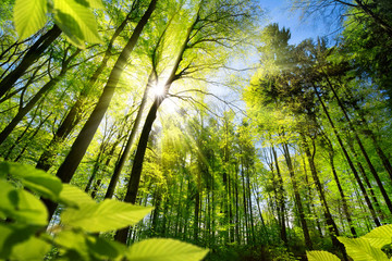 Scenic forest of fresh green deciduous trees framed by leaves, with the sun casting its warm rays...