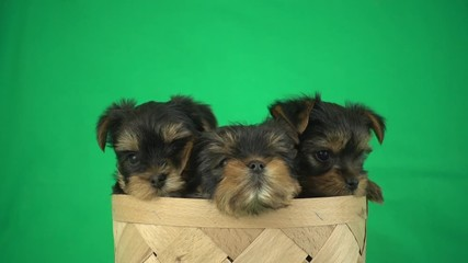 Wall Mural - puppies in a basket on a green screen