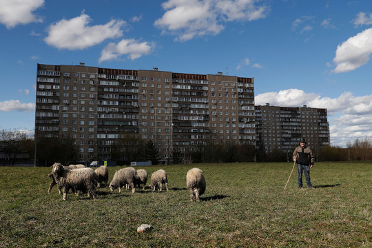 A shepherd grazes the sheep in the town of Odintsovo