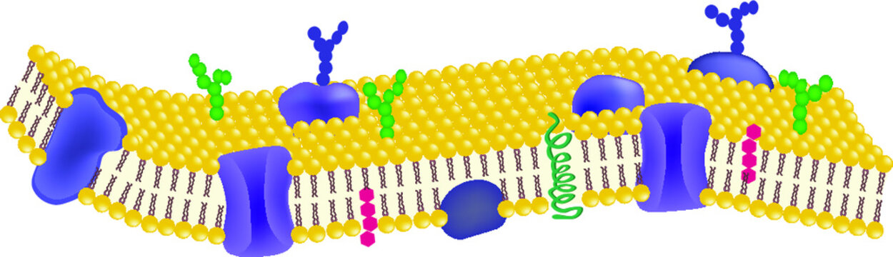 Phospholipid bilayers structure of cell membrane or cytoplasmic membrane