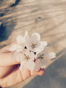 Cropped Image Of Hand Holding Cherry Blossom