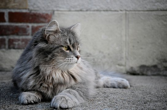 Close-up Of Maine Coon Cat Sitting On Street