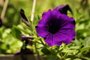 Fototapeta Purple or violet surfinia or petunia flower in bloom in the pot on the background of green leaf, closeup, Spring in GA USA. obraz