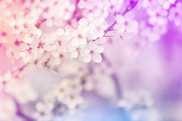 Wall Murals Spring Closeup view of blossoming spring tree outdoors, color toned