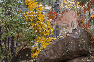 Wall Mural - Cougar (Puma concolor) Looks Down Off Rock Autumn
