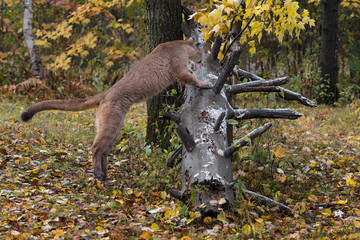 Fototapete - Cougar (Puma concolor) Moves to Jump Up on Log Autumn