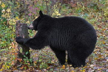 Wall Mural - Black Bear (Ursus americanus) Sniffs at Stump Autumn