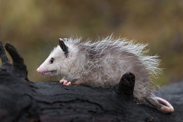 Fototapete - Virginia Opossum (Didelphis virginiana) Joey Sits Along on Log Autumn