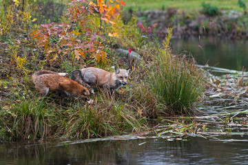 Fototapete - Amber Phase Red Fox (Vulpes vulpes) Licks Nose at Edge of Island  Autumn