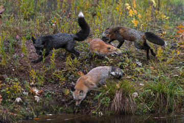 Fototapete - Skulk of Red Fox (Vulpes vulpes) Run Around Together at Waters Edge Autumn