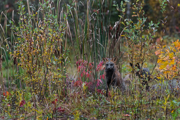 Wall Mural - Cross Fox (Vulpes vulpes) Sits in Weeds Autumn