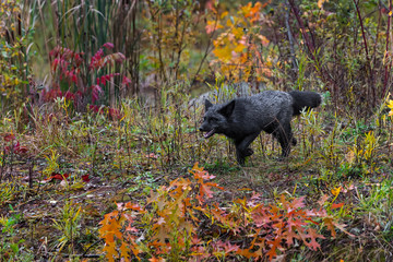 Fototapete - Silver Fox (Vulpes vulpes) Moves Left Through Weeds Autumn