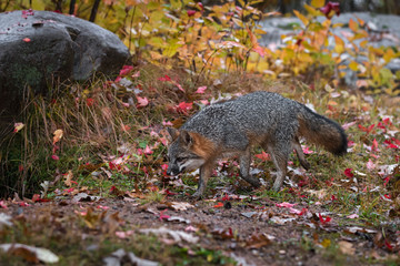 Wall Mural - Grey Fox (Urocyon cinereoargenteus) Trots Left Past Rock Autumn