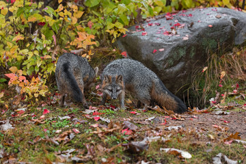 Fototapete - Grey Foxes (Urocyon cinereoargenteus) By Rock Fore and Aft Autumn