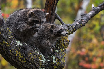 Fototapete - Raccoons (Procyon lotor) Sit Together in Tree Autumn