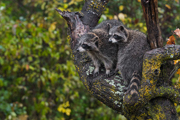 Fototapete - Raccoons (Procyon lotor) Huddle Together in Rain in Tree Autumn