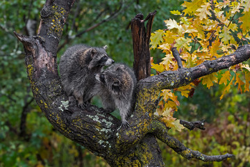 Fototapete - Raccoons (Procyon lotor) Turn Toward Each Other in Tree Autumn