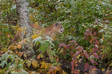 Fototapete - Cougar (Puma concolor) Stands Behind Birch Tree Autumn