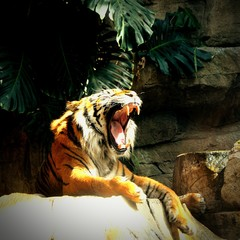 Tiger Roaring While Sitting On Rock By Tree