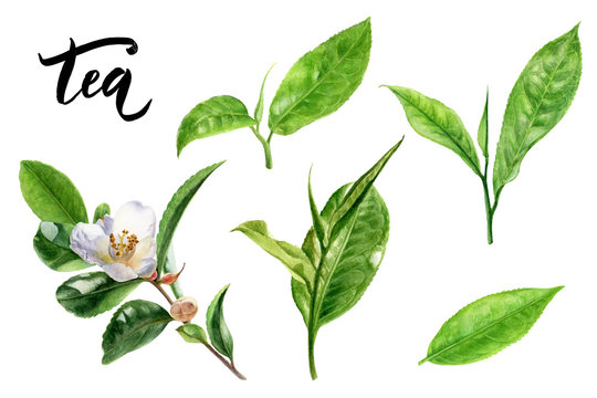 Tea leaves watercolor illustration isolated on white background