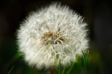 Dandelion seed head closeup garden