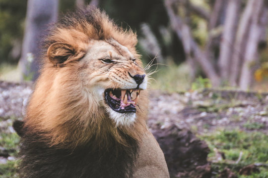 Lion Roaring In Forest