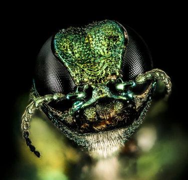 emerald ash borer Destroyer of Ash, beautiful Buprestid beetle. like alien eye