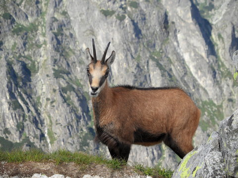 Portrait Of Chamois Against Mountains