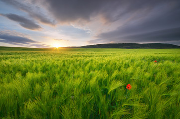 Wall Mural - Meadow of wheat on sundown.