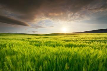 Wall Mural - Meadow of green wheat on sundown.