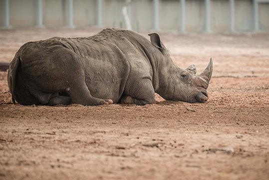 white rhino in zoo