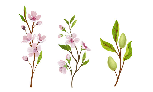 Almond Plant Branches with Blossoming Flowers Vector Set