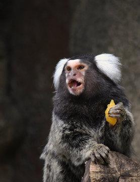 Marmoset Monkey Against Blurred Background