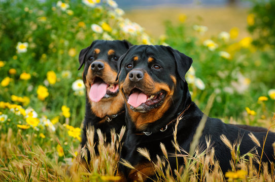 Close-up Portrait Of Rottweilers