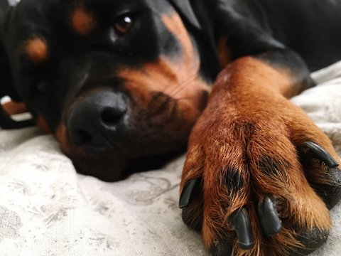Portrait Of Rottweiler Lying On Bed