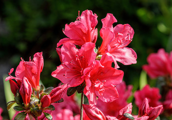 Spring flowering red azalea