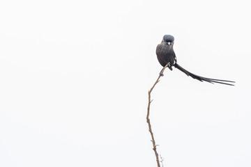 Corvinella melanoleuca Longtailed Shrike bird in kruger park Fotomurales
