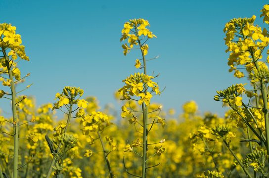 Yellow bright flowers rapeseed field.