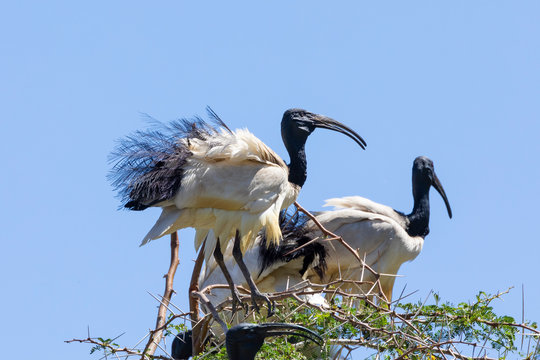 Adult African Sacred Ibis (Threskiornis aethiopicus)in breeding plumage, Leidam, Montagu, Western cape, South Africa